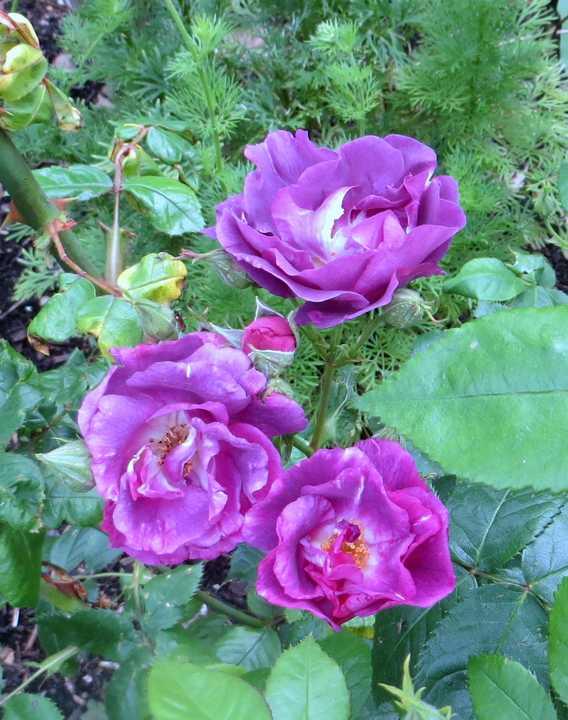 Rosa 'Rhapsodie in blue' !!! - Page 3 Rhapso10