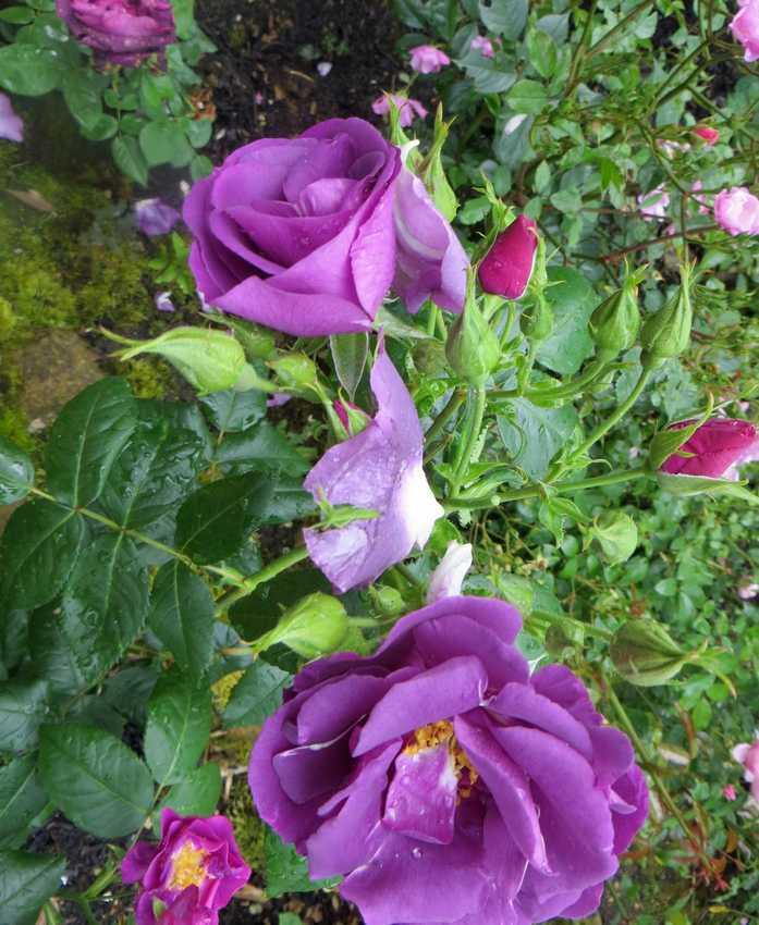 Rosa 'Rhapsodie in blue' !!! - Page 3 Rhapso12