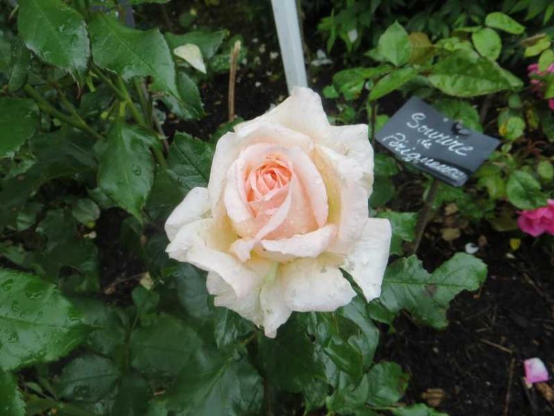 rosier sweet love Sweet_13