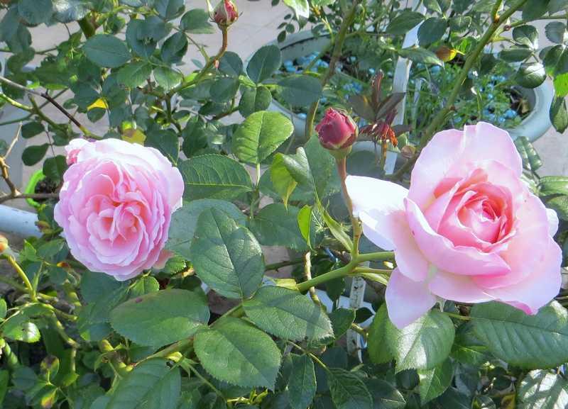 rosier tiffany - Page 2 Tiffan10