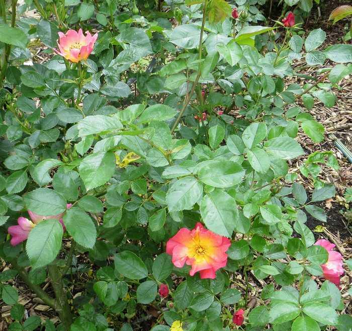 Rosa 'Yann Arthus Bertrand' !!! - Page 5 Y_a_be10