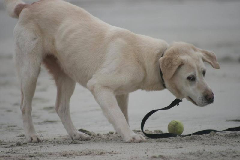 OXCINE, femelle labrador, 10 ans et demi 13059410