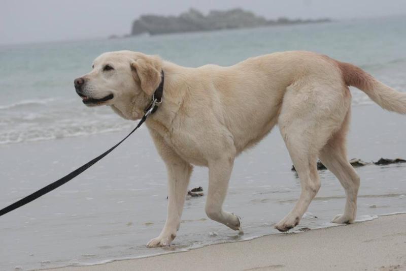 OXCINE, femelle labrador, 10 ans et demi 13059613