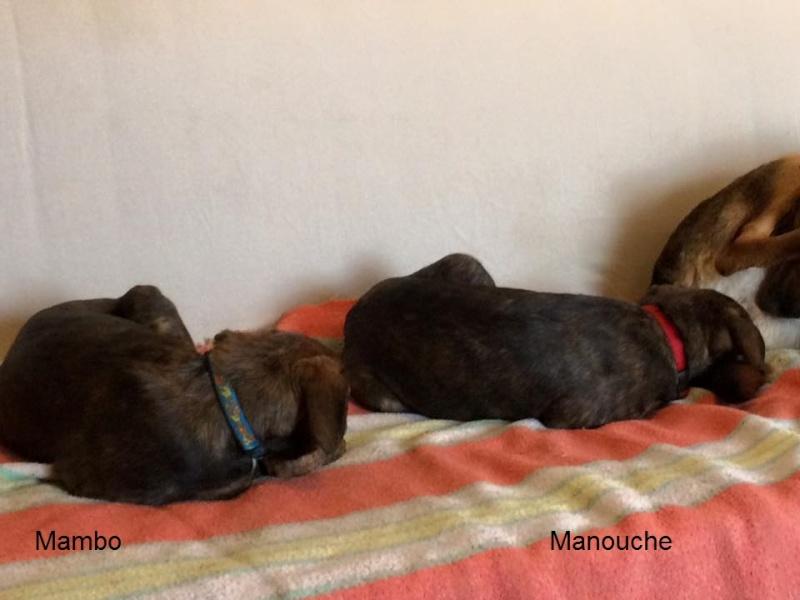 MAMBO, chiot mâle croisé berger, 3 mois 13076910