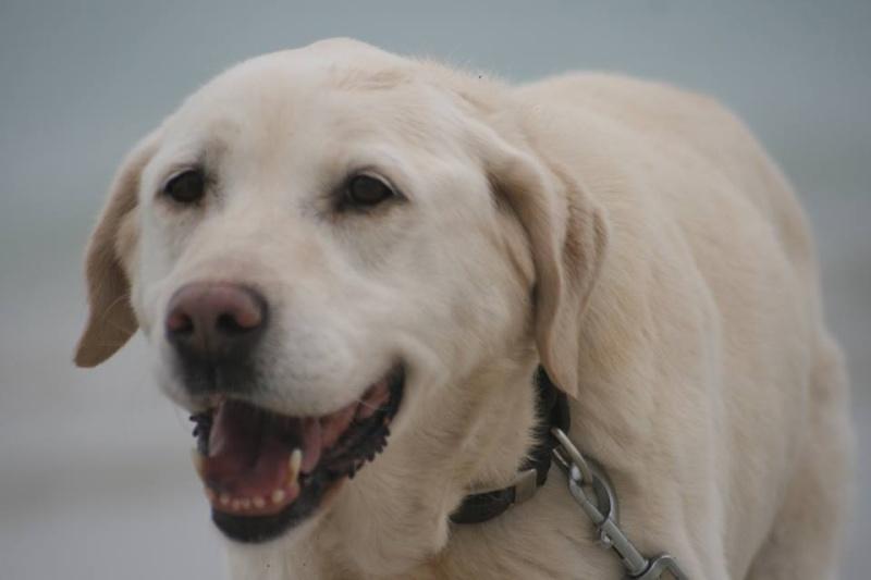 OXCINE, femelle labrador, 10 ans et demi 13077110