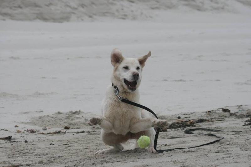 OXCINE, femelle labrador, 10 ans et demi 13077310