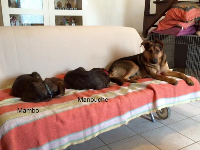 MAMBO, chiot mâle croisé berger, 3 mois 13083110