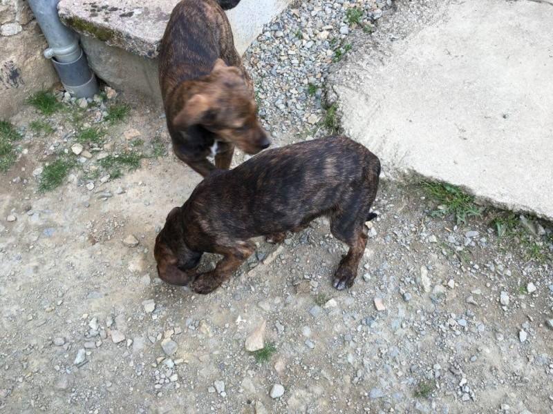 MAMBO, chiot mâle croisé berger, 3 mois 13084110