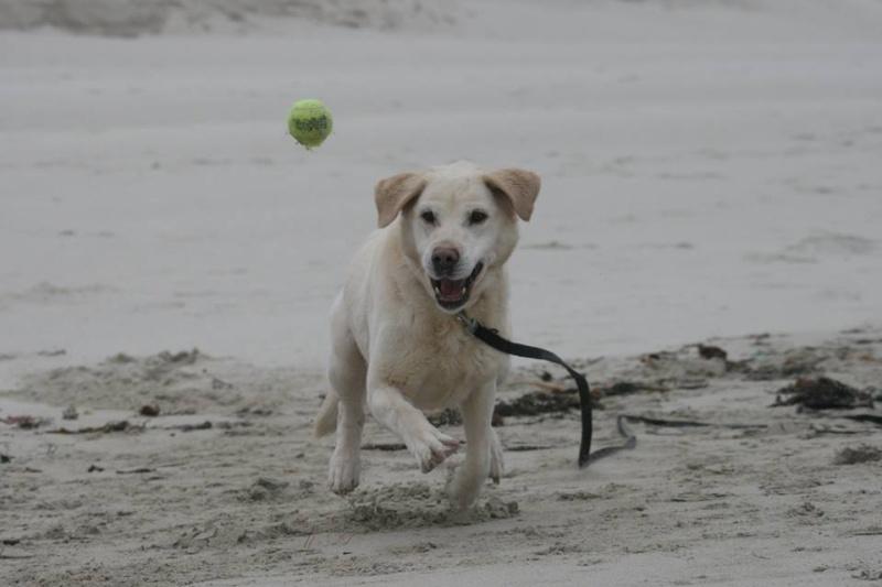 OXCINE, femelle labrador, 10 ans et demi 13089910