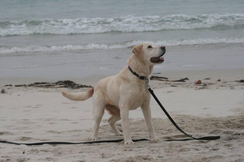 OXCINE, femelle labrador, 10 ans et demi 13090010