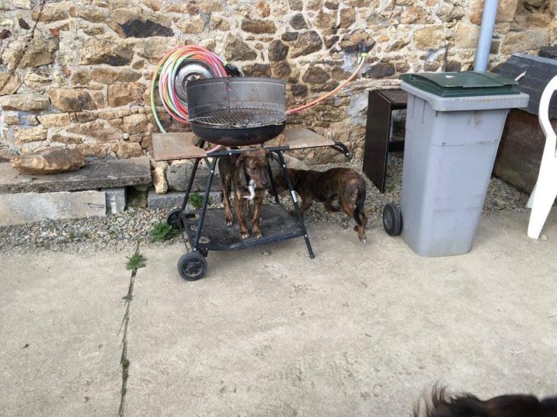 MAMBO, chiot mâle croisé berger, 3 mois 13101510