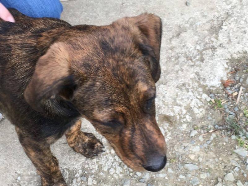 MAMBO, chiot mâle croisé berger, 3 mois 13115310