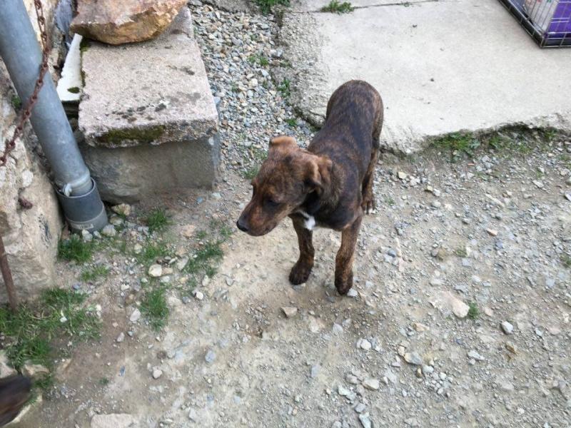 MAMBO, chiot mâle croisé berger, 3 mois 13115410