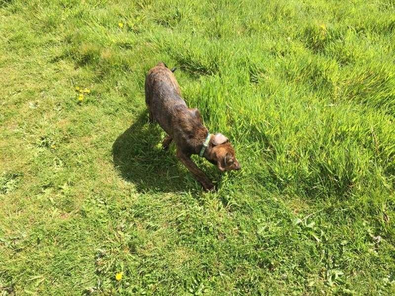 MAMBO, chiot mâle croisé berger, 3 mois Mambo610