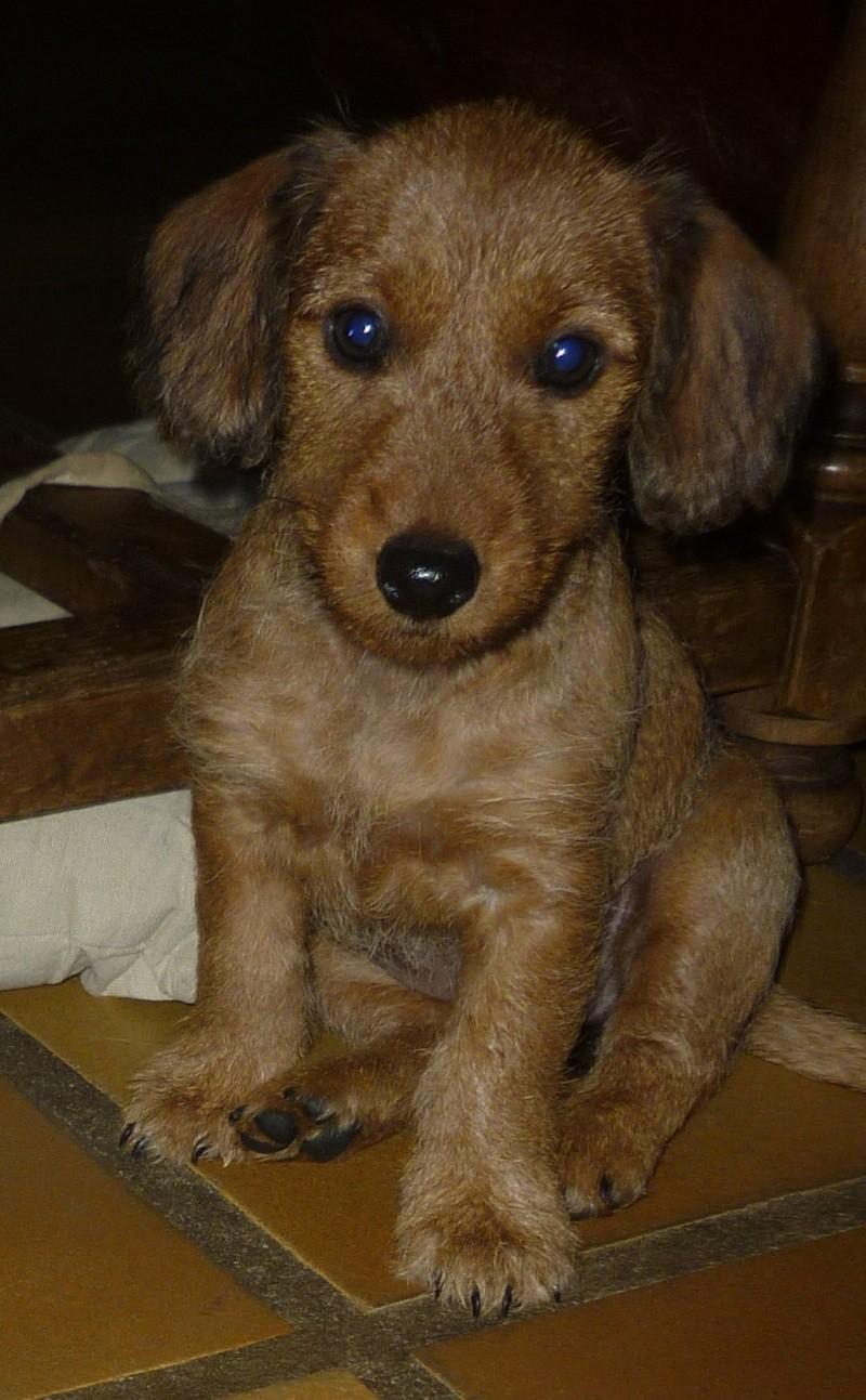 MALIBU, chiot femelle teckel/border terrier, 2 mois P1240310