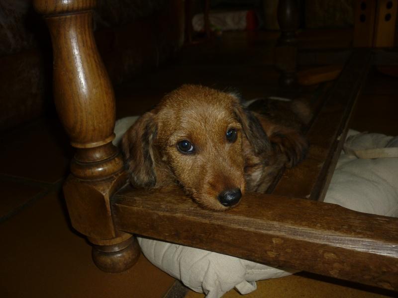 MALIBU, chiot femelle teckel/border terrier, 2 mois P1240311