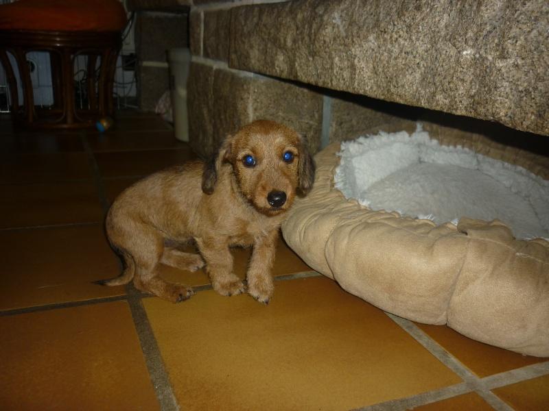 MALIBU, chiot femelle teckel/border terrier, 2 mois P1240313