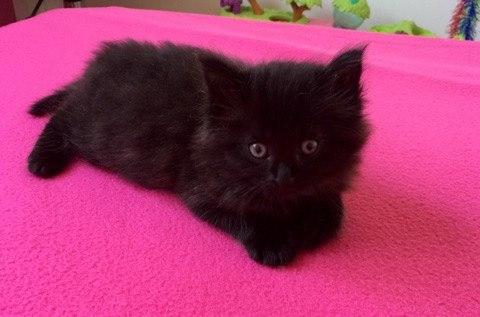 MISHKA (Black Pearl)  13249511