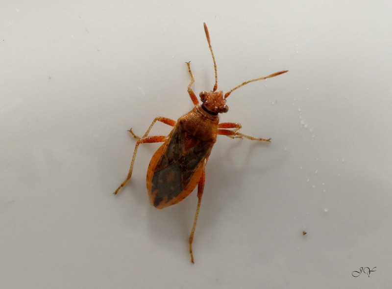 Rhopalidae. 17_aoy10
