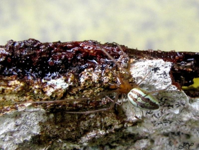 Tetragnathidae. 29_jui10