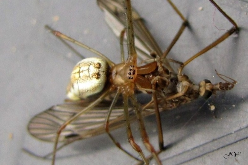Tetragnathidae. 9_juin10