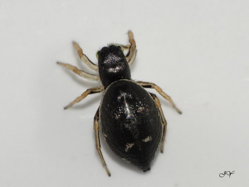 Heliophanus. Heliop12