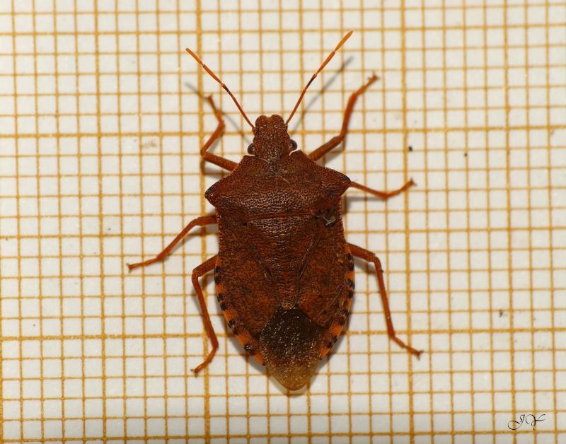 Une verte. ( NON - une Asopinae) Nezara10
