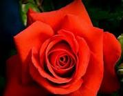 Rose d'amour Fleur-10