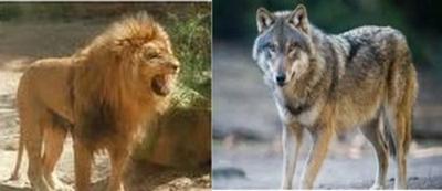 Le lion et le loup Lion-l11