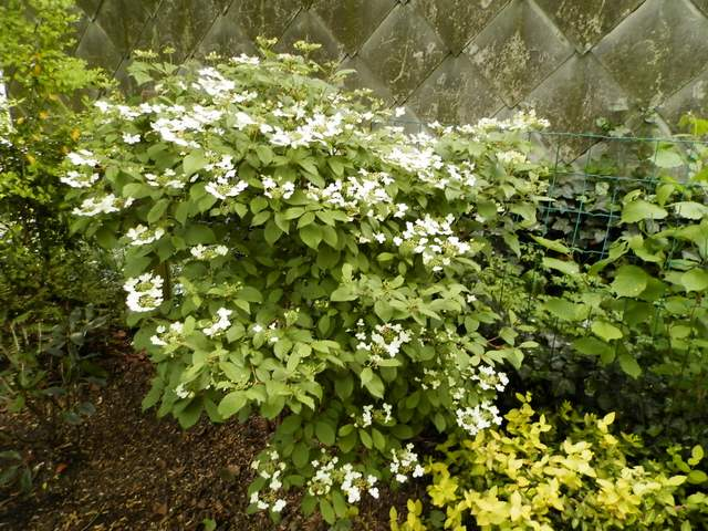 Viburnum plicatum 'Watanabe' !!! - Page 5 Vibwat10