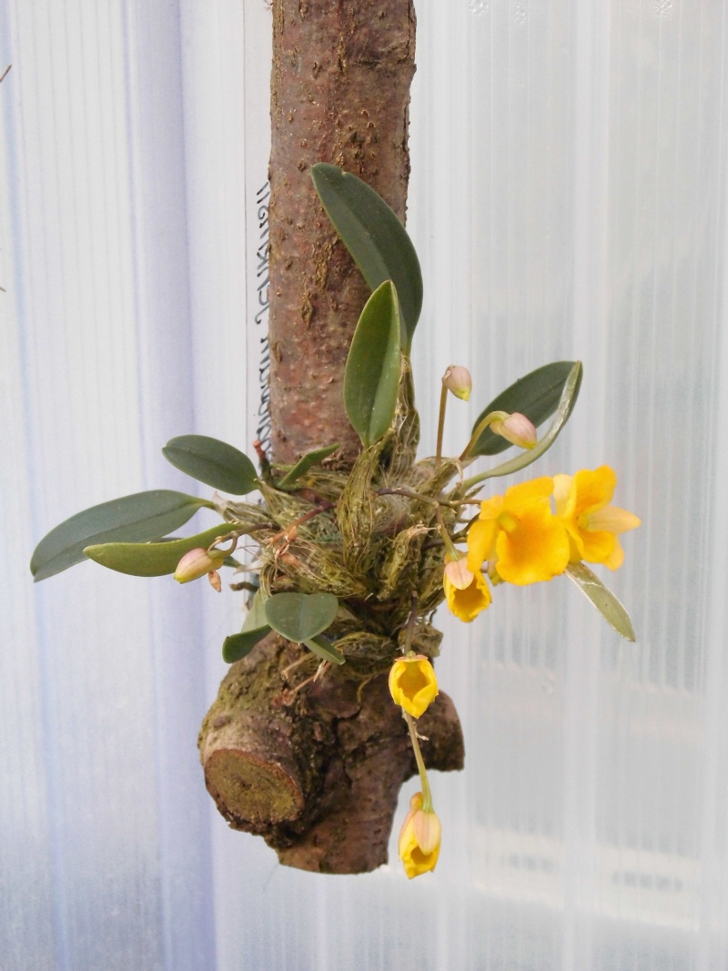 Dendrobium jenkinsii Wallich ex Lindley 1839 Dendro11
