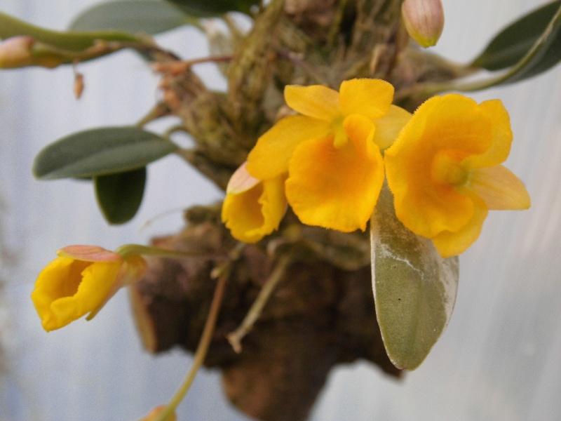 Dendrobium jenkinsii Wallich ex Lindley 1839 Dendro13