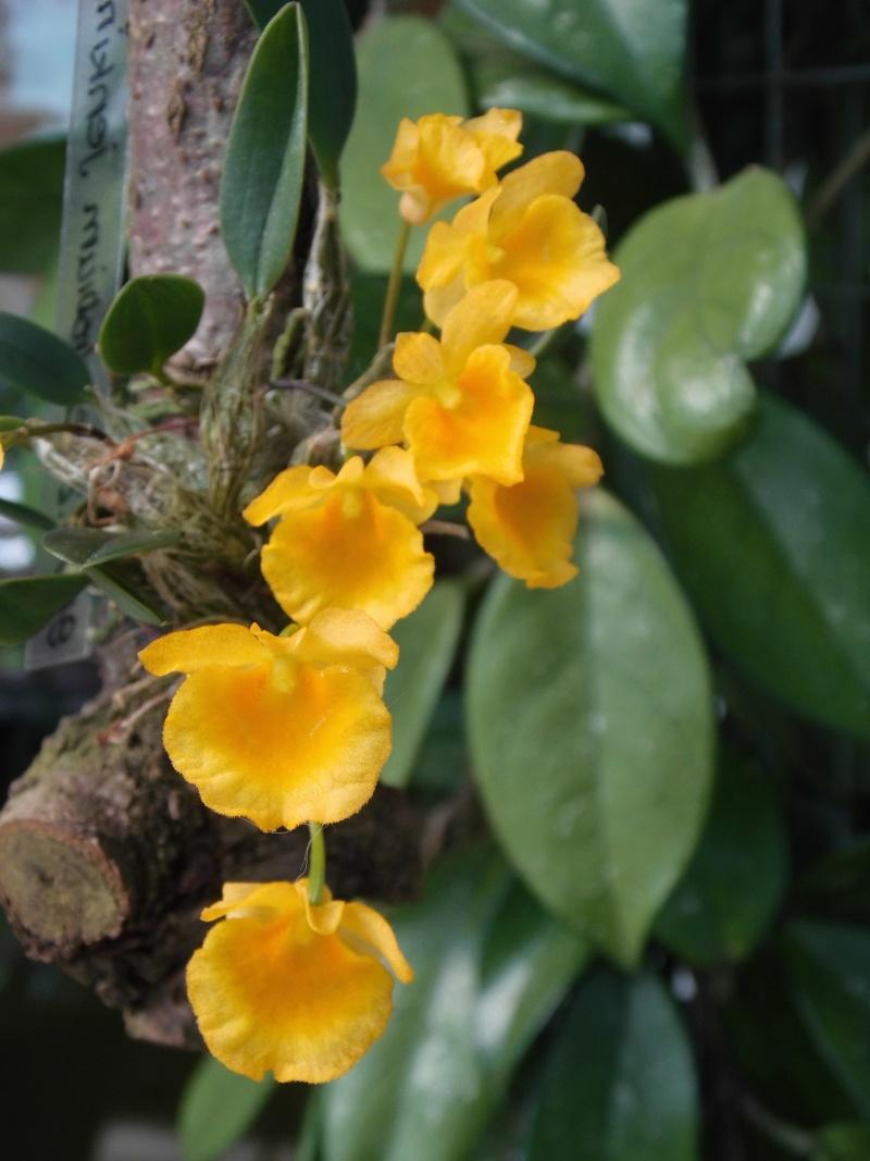 Dendrobium jenkinsii Wallich ex Lindley 1839 Dendro14