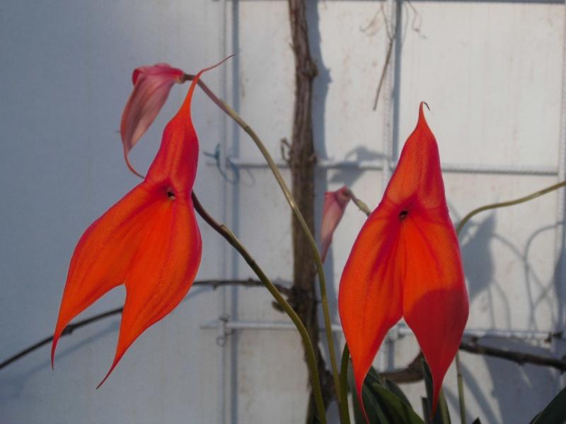 Masdevallia veitchiana Dsci0110