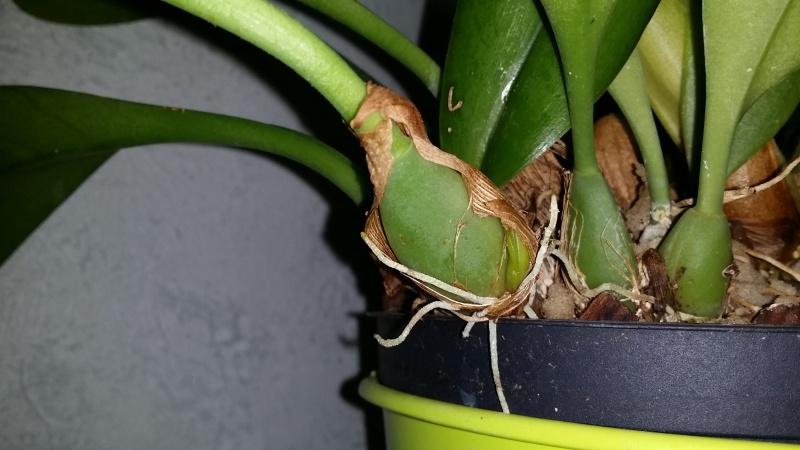 bulbophyllum Echinolabium x carunculatum 'l'Amazone' - Page 2 20160610