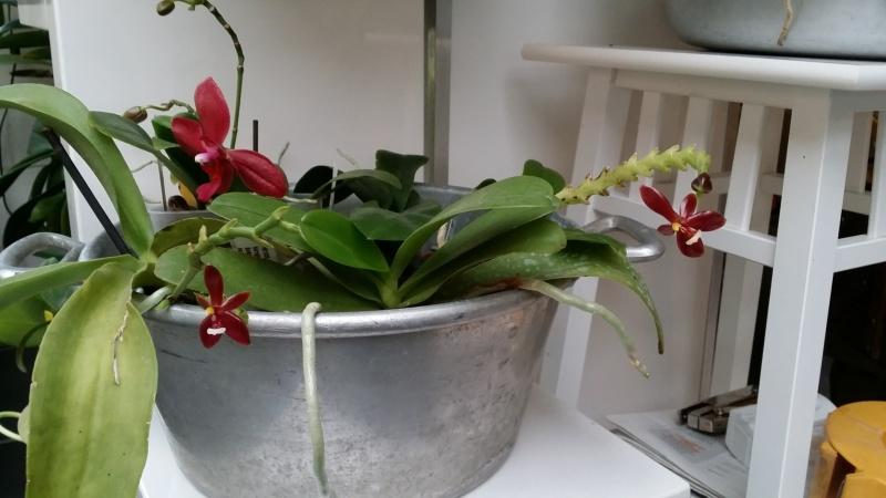 phalaenopsis cornu cervi var chattaladae - Page 2 20160614