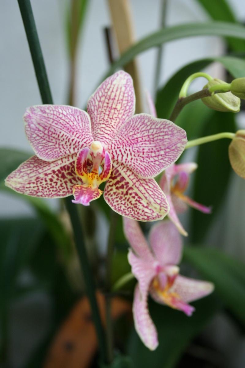 phalaenopsis Mannii x michel vacherot Img_2824