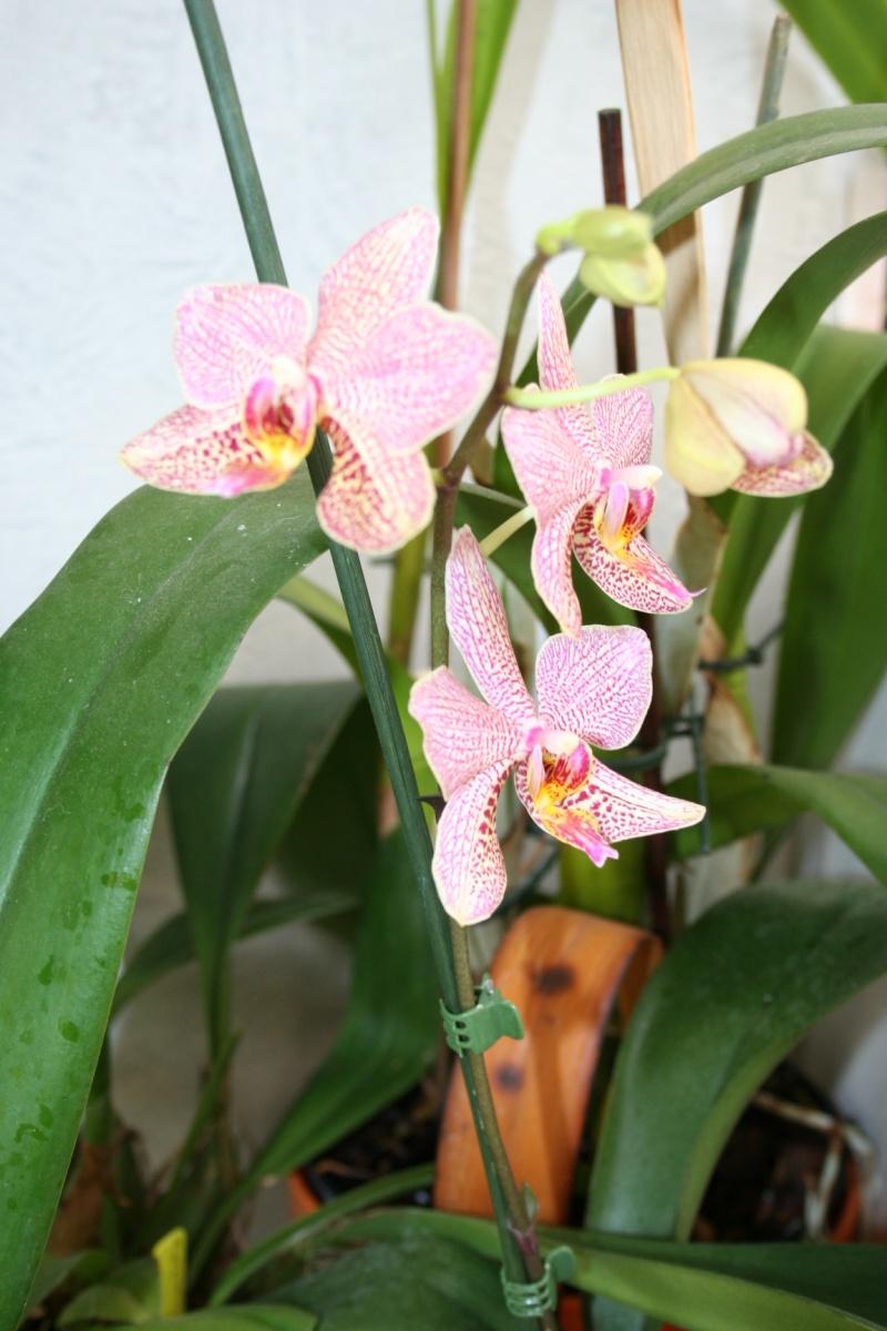 phalaenopsis Mannii x michel vacherot Img_2826