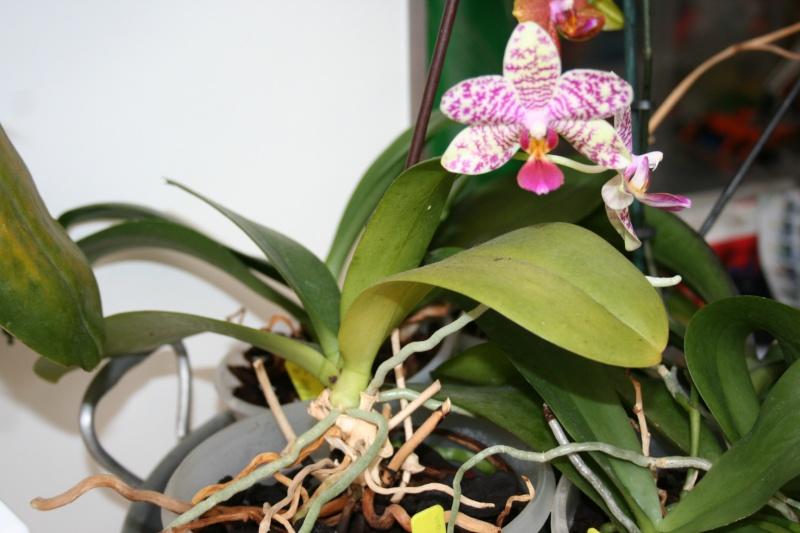 phalaenopsis pink panther - Page 2 Img_2828