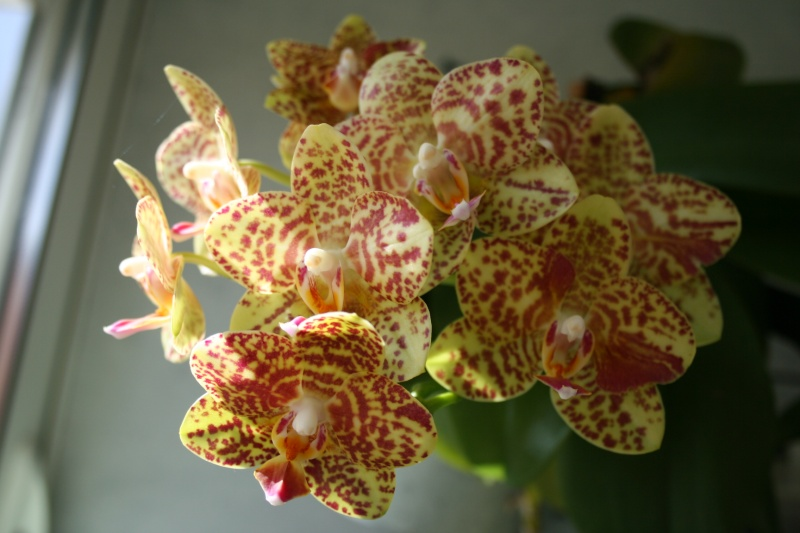 phalaenopsis calistyle - Page 2 Img_2830