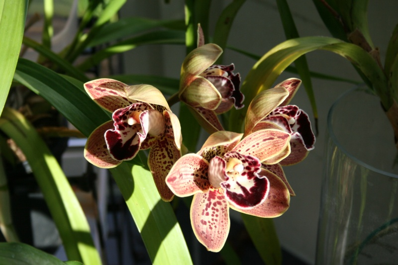 cymbidium los angeles Img_2833