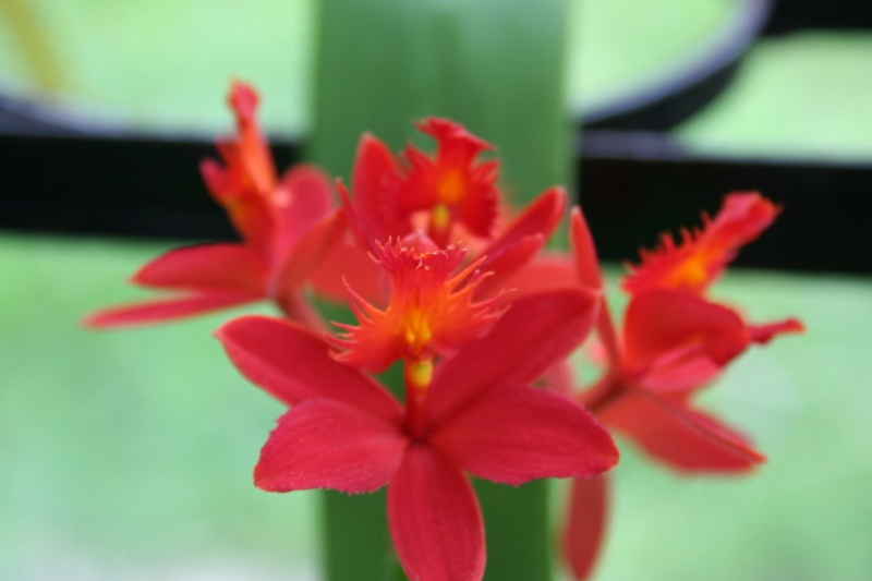epidendrum ibaguense - Page 3 Img_2933