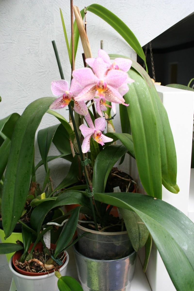 phalaenopsis Mannii x michel vacherot Img_2943