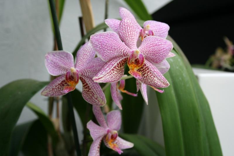 phalaenopsis Mannii x michel vacherot Img_2944