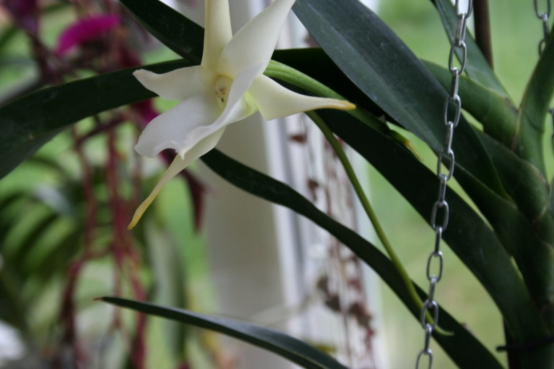 angraecum lady rosemary x sesquipedale Img_2947