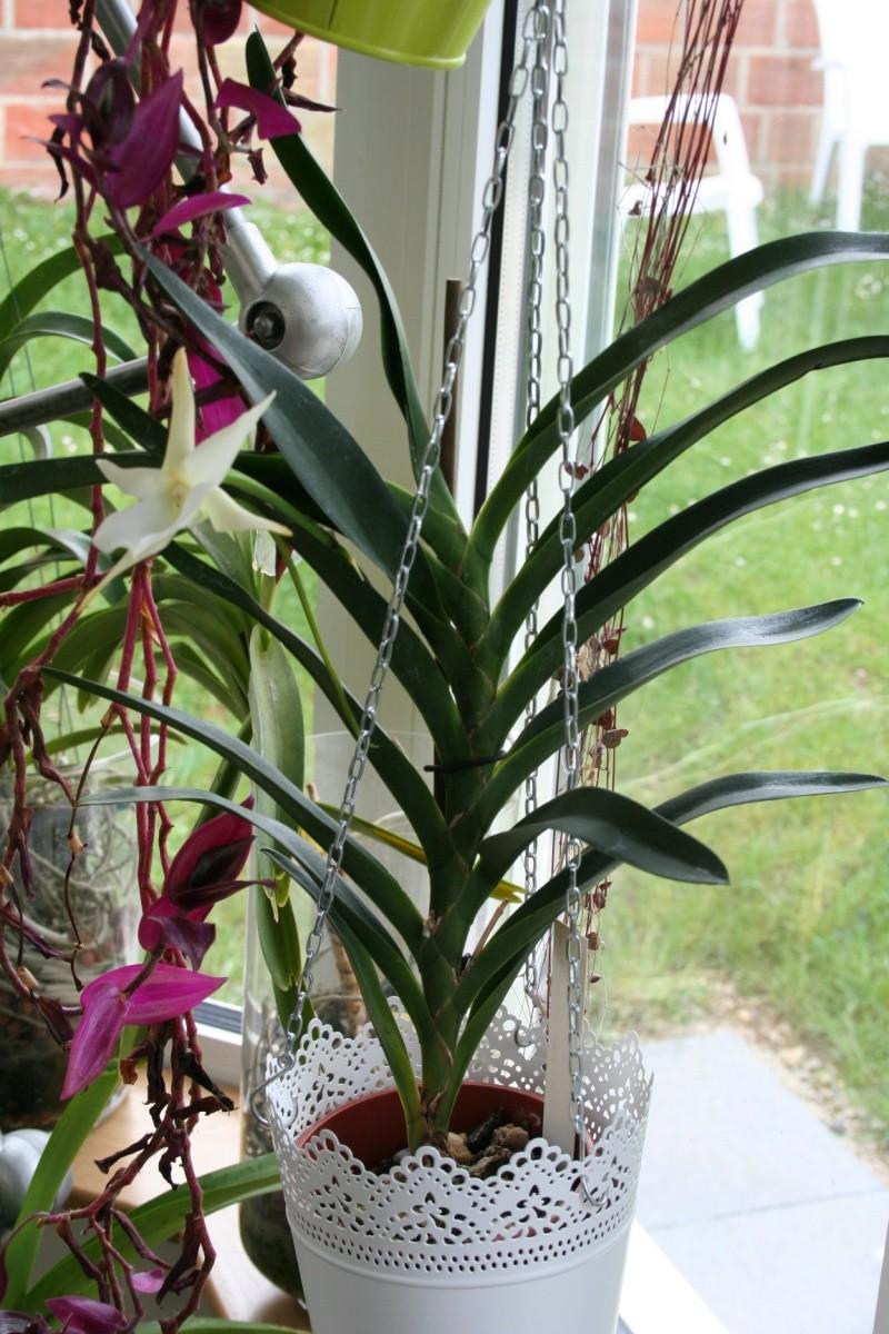 angraecum lady rosemary x sesquipedale Img_2949