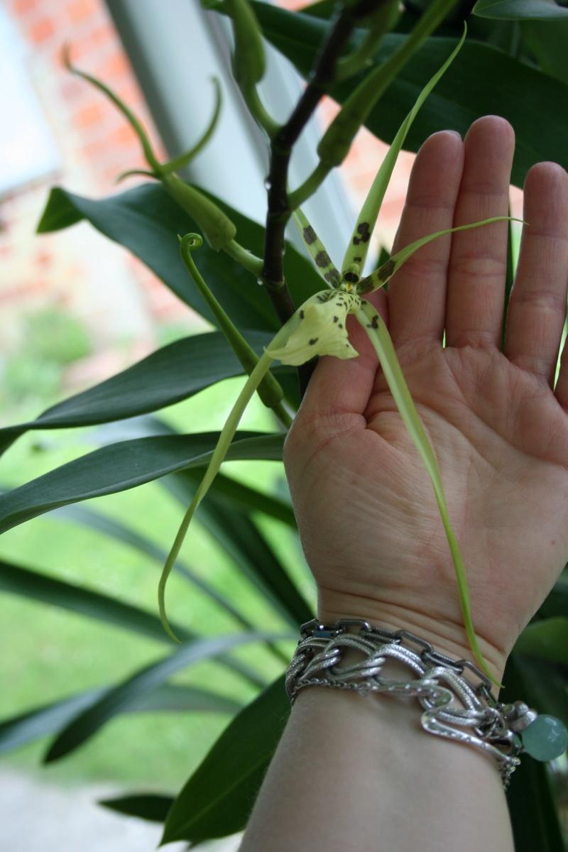 odontoglossum maclellanara Img_3021
