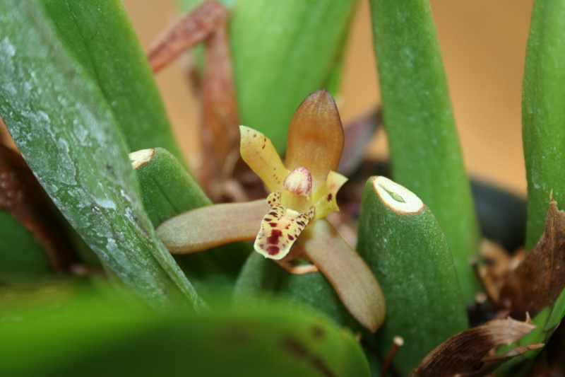 maxillaria rufescens - Page 2 Img_3026