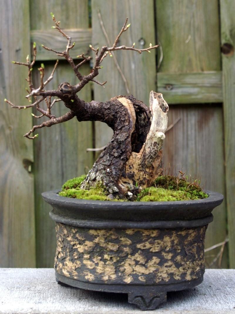 Prunus Mahaleb Pict0016