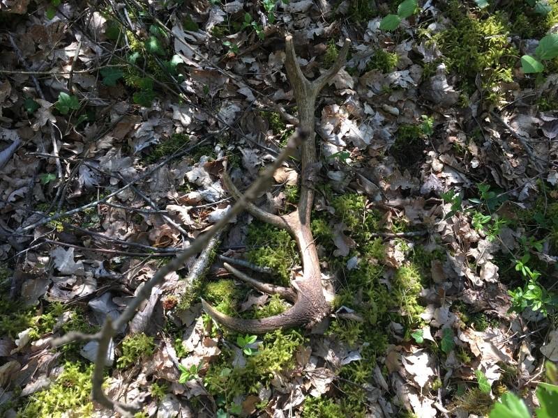 Mues de cerfs ou de chevreuils - Page 7 Image53